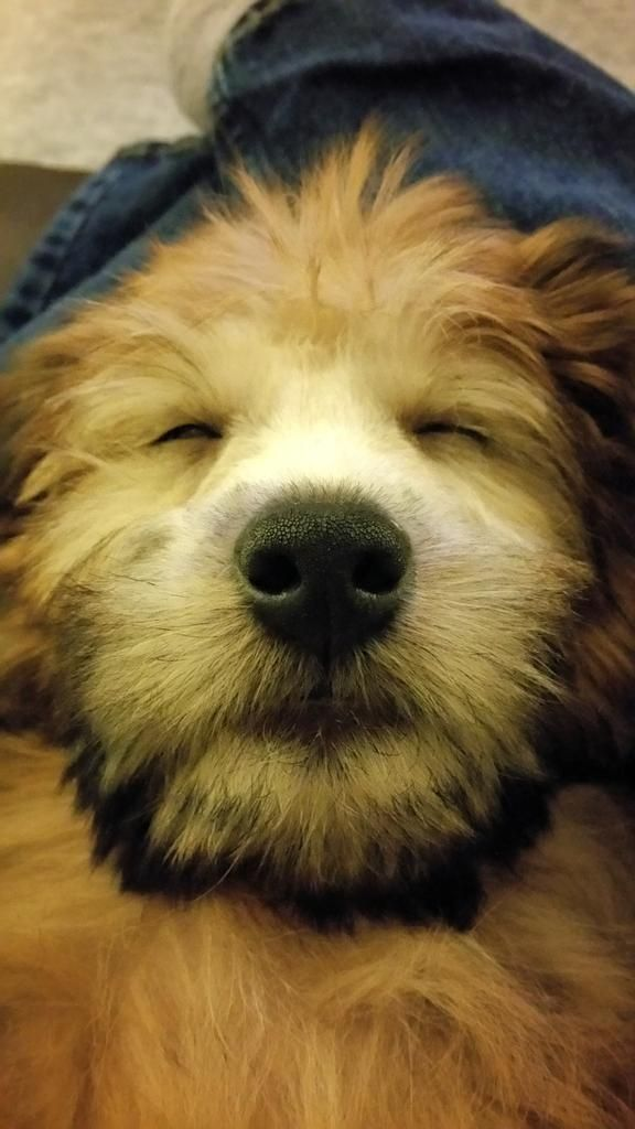 Best 25+ Wheaten terrier ideas on Pinterest