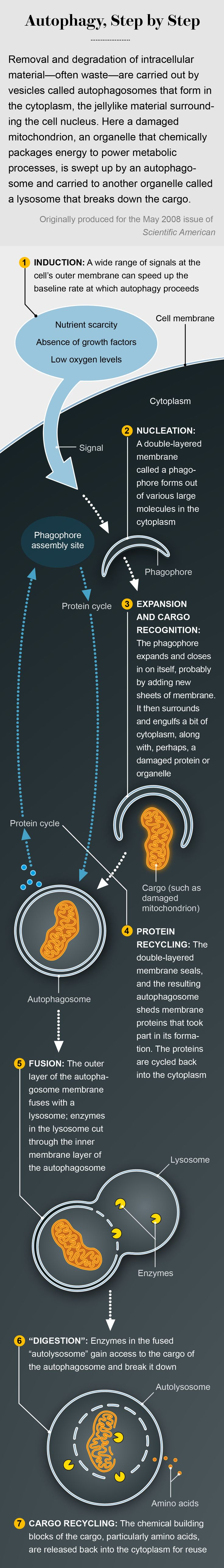 A graphic from the Scientific American archive shows how cells clean house—the basics behind this year's Nobel Prize in Physiology or Medicine
