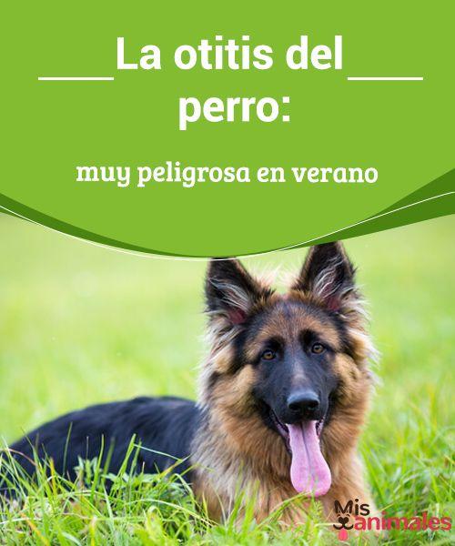 La otitis del perro: muy peligrosa en verano  La otitis en el perro puede ser realmente peligrosa, sobre todo durante los meses de verano. Aprende a cuidarla y protegerle de la enfermedad  #Salud #Otitis #Peligrosa #Verano