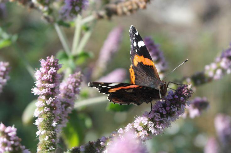 Fjärilarna älskar min myntaodling. Äppelmynta, ingefärsmynta, pepparmynta, chokladmynta, mojitomynta och kattmynta. Många sorter att välja på ger många olika fjärilar.