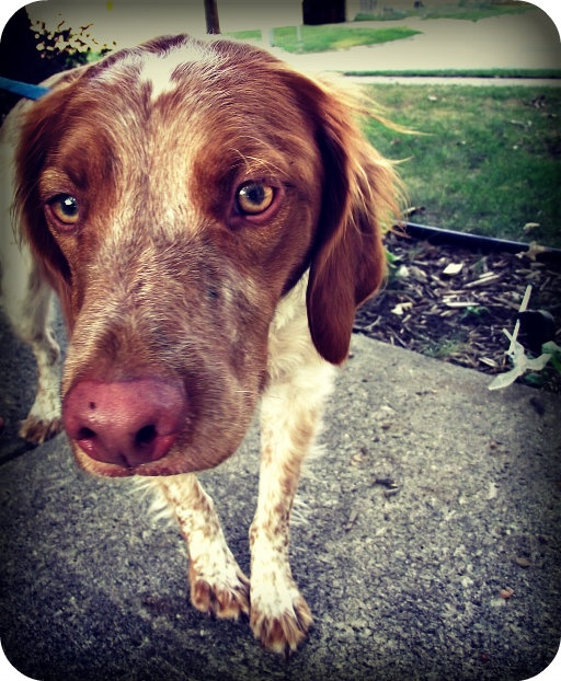 Jacoby :) my sister's brittany spaniel