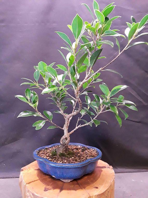 Bonsai Fig Tree Ficus Microcarpa Mini Golden Gate Bonsai Bonsai Bonsai Ficus Bonsai Tree
