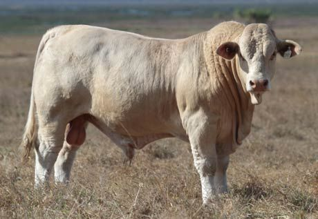 The Charbray from Australia is a result of blending two breeds, the Charolais and the Brahman.