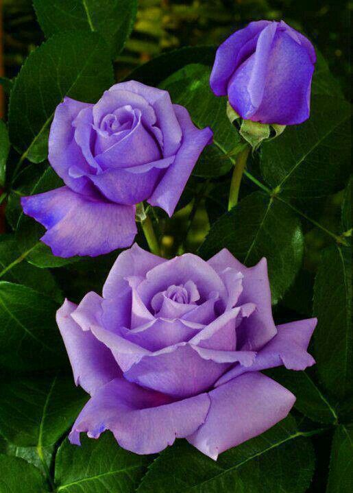 Blue Nile Roses Blue? They look purple to me!  LL  :-)   I don't have one this deeply colored....my lavender roses are very light pastel lavender.  These would be awesome!