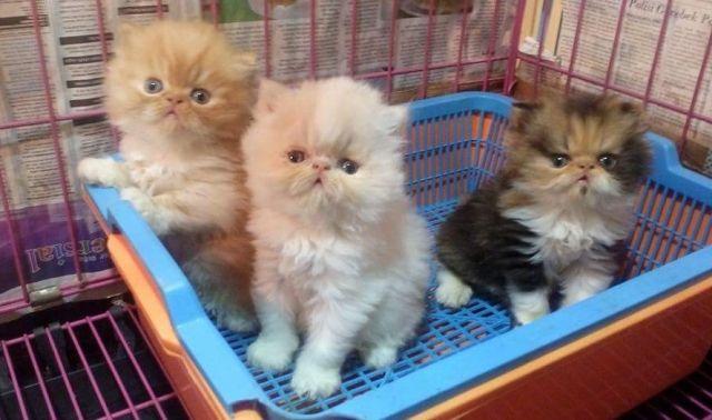 Unduh 97+  Gambar Kucing Banyak Paling Imut