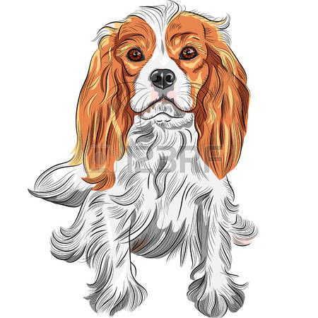 vector perro serio lindo Cavalier King Charles Spaniel raza photo