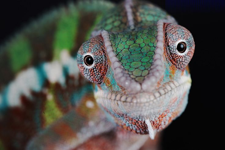 Scientists took a deeper look at both how and why chameleons change color, and…