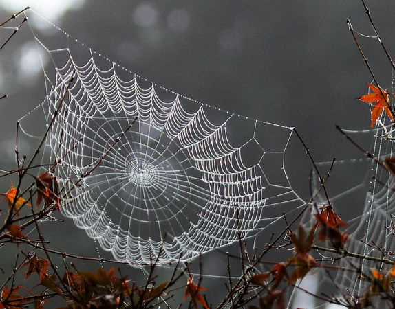 Autumn dew brings spider webs into plain view - Photo Gallery - OregonLive.com