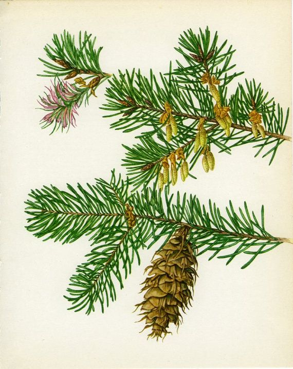 Vintage Tree Print Douglas Fir American by MarcadeVintagePrints, €10.30