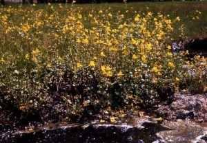 Le personalità dei fiori di Bach: Mimulus La tendenza delle nostre personalità incide paricolarmente su di noi e sul nostro equilibrio. fiori di bach omeopatia floriterapia