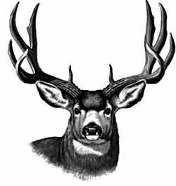 mule deer pictures to draw | Pine Ridge Taxidermy