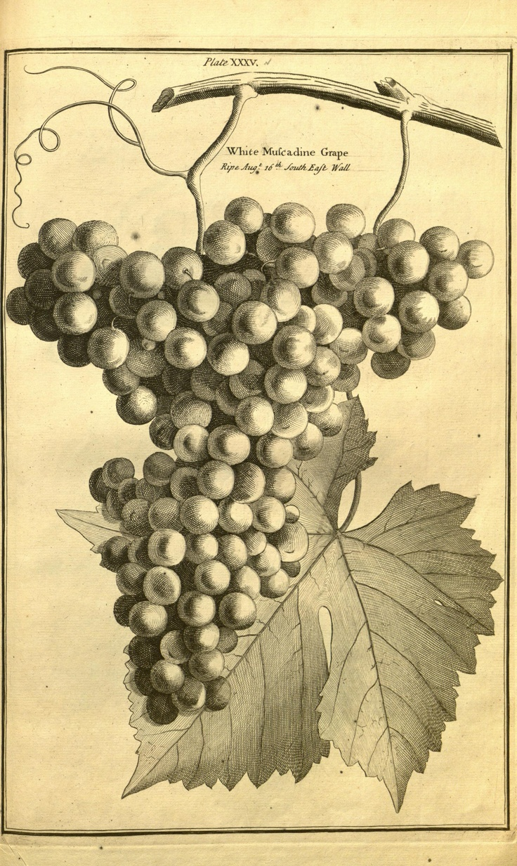 225 best Art.....Grapes images on Pinterest | Watercolor paintings ...