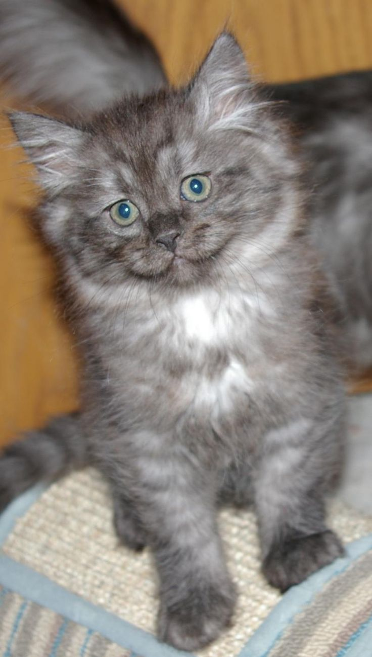 Best 25 Ragamuffin kittens ideas on Pinterest