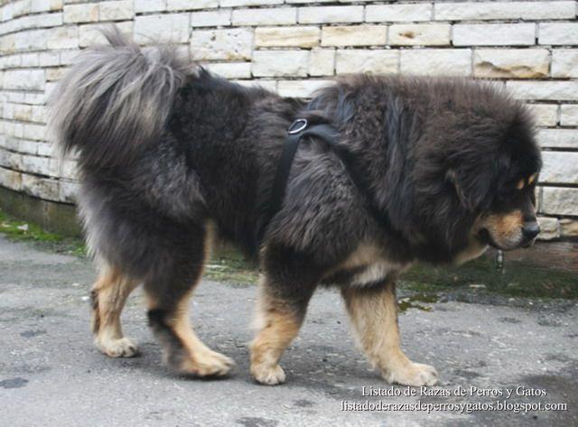 Listado de Razas de Perros y Gatos. Todos los tipos...: Raza de Perro Dogo del Tíbet o Mastín Tibetano (Ti...