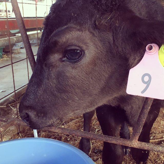 〈牛の赤ちゃん❗️〉 皆さん、おはようございます^_^  まだまだ朝晩は冷えますね〜(^^;; 牛の赤ちゃんも風邪をひかないように写真のように服を着るんですよ^^ そうです❗️ 今回はふじの蔵はホントに牧場直営なの⁈という声にお応えしまして牧場部門であるフジファームに潜入( ̄▽ ̄) フジファームでは毎日のように黒毛和牛の赤ちゃんが産まれてきます。 当店メニューの表紙を飾る牧場スタッフが持っているバケツ、実は仔牛の哺乳瓶なんです(o^^o)  #肉 #馬刺し #熊本 #ホルモン #焼肉#ふじの蔵 #光の森#ハラミ#ステーキ#サラダバー  牧場直営 焼肉 ふじの蔵 050-5590-1142 熊本県菊池郡菊陽町津久礼2145-1 https://s.tabelog.com/kumamoto/A4301/A430101/43011701/?lid=header_restaurant_detail_coupon
