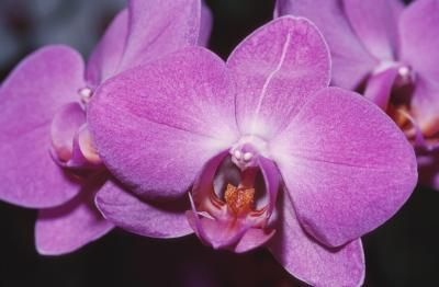 The vast majority of the thousands of orchid varieties (Orchidaceae) are epiphytic plants, which cling to trees rather than grow in soil. This is true of dendrobium orchids, which are hardy in U.S. Department of Agriculture plant hardiness zones 9 to 12, and phalaenopsis orchids, which are hardy in zones 10 to 12. These orchids commonly are grown in bark medium. If you prefer to grow them without a medium, however, then mount the plants on a cork bark plaque. Eventually, the orchids' roots…