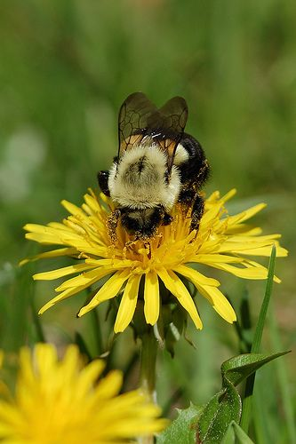 Bumble Bee on a Dandelion - Taraxacum officinalis.