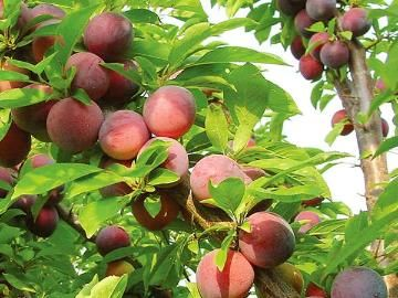 Methley Plum-A heavy bearer, Methley grows clusters of plums all throughout the tree. Vigorous and disease-resistant to fungal diseases like rust. A superb pollinator for other Japanese plum trees. Heat-tolerant. Clingstone. Ripens in mid July. Self-pollinating