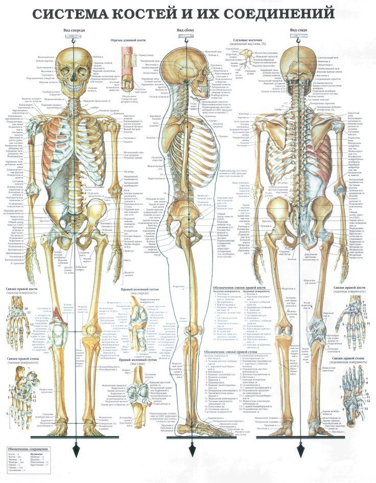 Atlas_skelet.jpg (5508×7079)