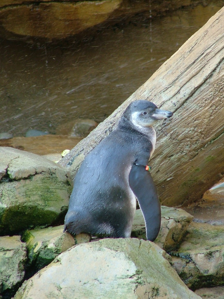 2012 Humboldt Penguin chick Pedro at the Akron Zoo