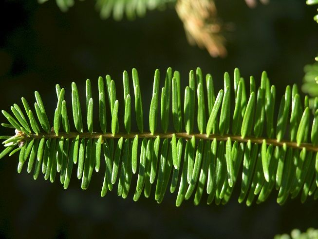Grand Fir (Abies grandis), Pacific northwest native tree