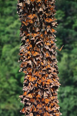 I would love to be able to go here one day :D Monarch Butterfly Biosphere Reserve
