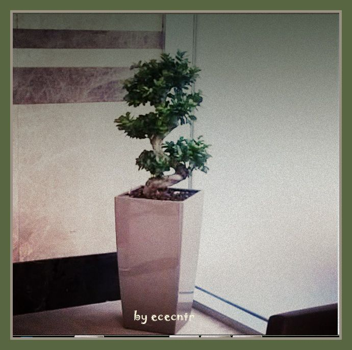 ficus bonsai in the entrance of a plaza