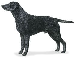 Get to know the  Curly-Coated Retriever