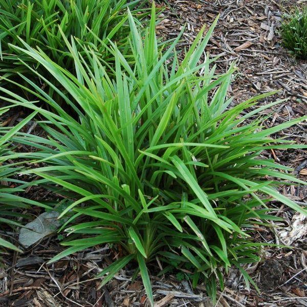 Buy Little Jess [ Dianella Caerulea 'DCMP01' ] on Bluedale Plants Online