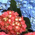 La hortensiaes uno de los arbustos más floríferos y, por el clima, desarrolla su máxima belleza en la cornisa cantábrica. Sus flores, de enorme tamaño, pueden ser de tres