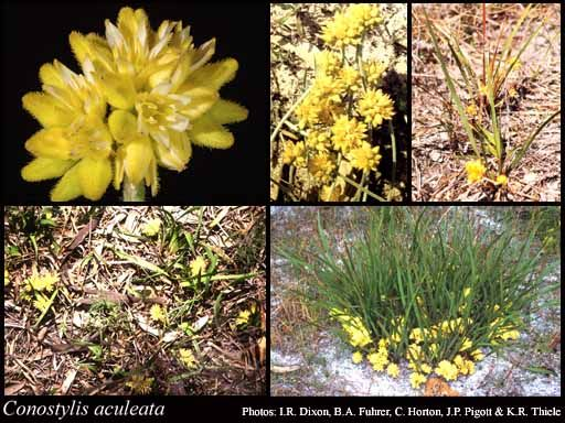 Conostylis aculeata Prickly conostylis  Rhizomatous, perennial, grass-like or herb, 0.06-0.5(-0.6) m high. Fl. yellow, Aug to Nov. Sand, loam, clay, gravel, limestone, laterite. Wi...