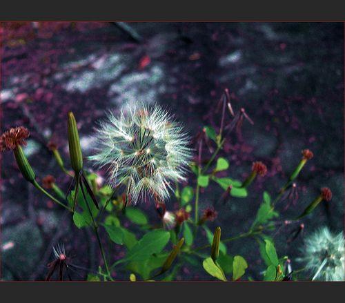 Flor Voadeira