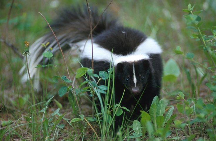 "Striped Skunks. Their colors do not camoflage them since few animals will mess with them. They are not built to run fast. Their legs are made for digging, so they run with a slow ""waddle."" In the dark they can be mistaken for cats until they run. They spray as a last resort, giving several warnings first."