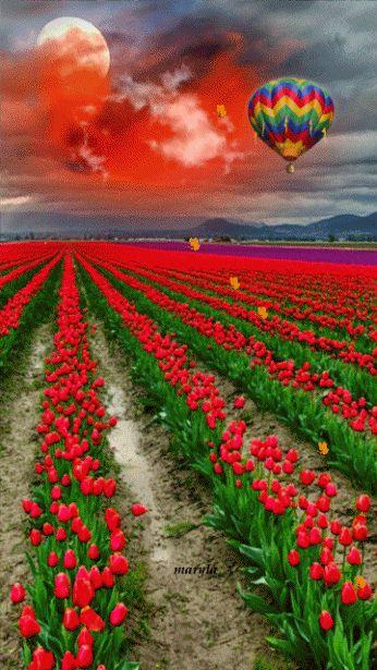campos de tulipanes gif