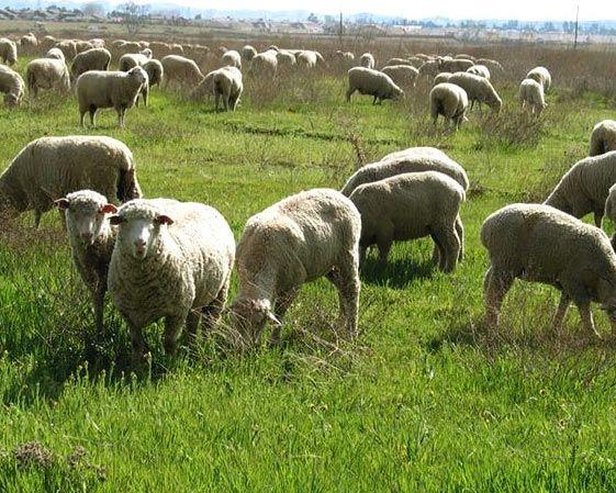 Wejdź: http://puszystaowca.pl/ekologiczny-wypas-owiec/