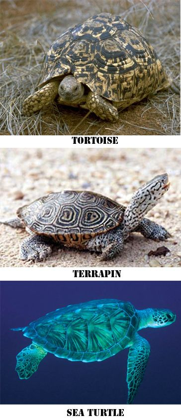 Tortoises live only on land and therefore, they do not know how to swim. Terrapins live both in water and on land, and Sea turtles live only in water. The best way to see the difference among them and the reason why they can/can't swim, is by looking at their feet.
