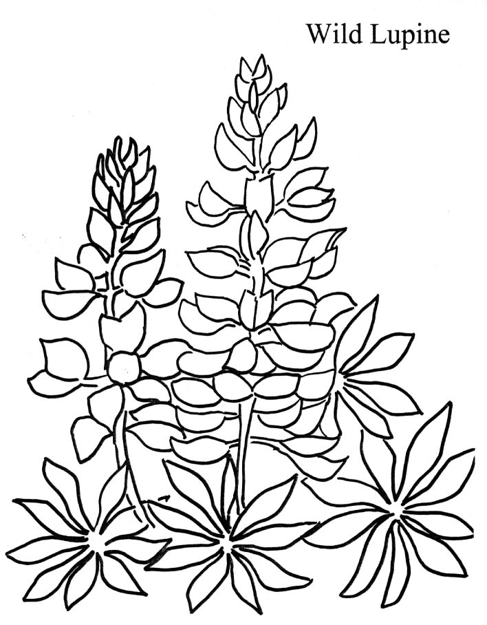 lupine coloring page for either
