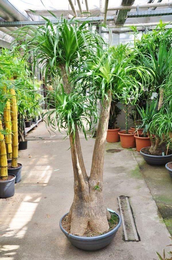 Perfekte Pflanze für alle die das eine oder andere Mal vergessen ihre Pflanzen zu gießen. Anspruchslos und leicht zu halten. Lieferhöhe ca. 2,00m mit Schale.