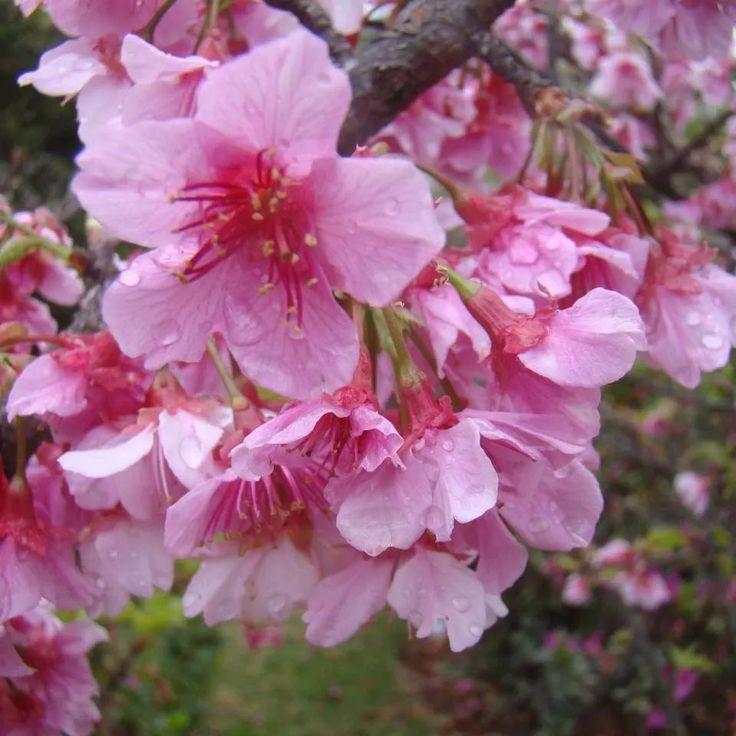 mudas de cerejeira ornamental japonesa sakura rosa