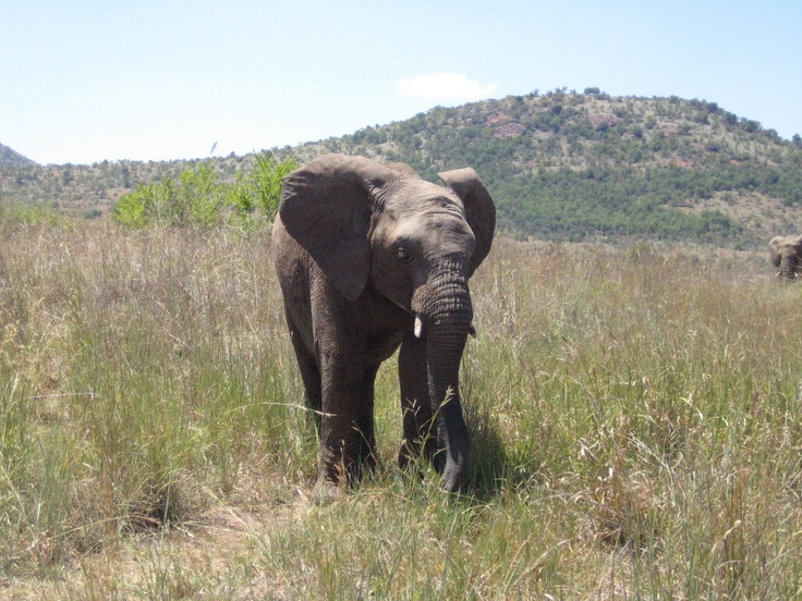 Elephant in the Pilanesburg South Africa