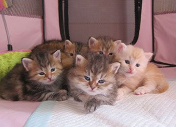 Cucciolate Precedenti - Coccole & Fusa - Allevamento Gatto Siberiano / Siberian Cat Breeding - Assago - Milano - Italy