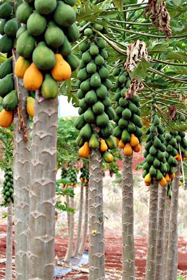 Papaya trees.