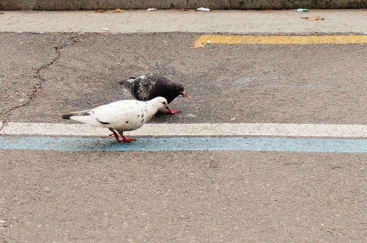 비둘기 두마리