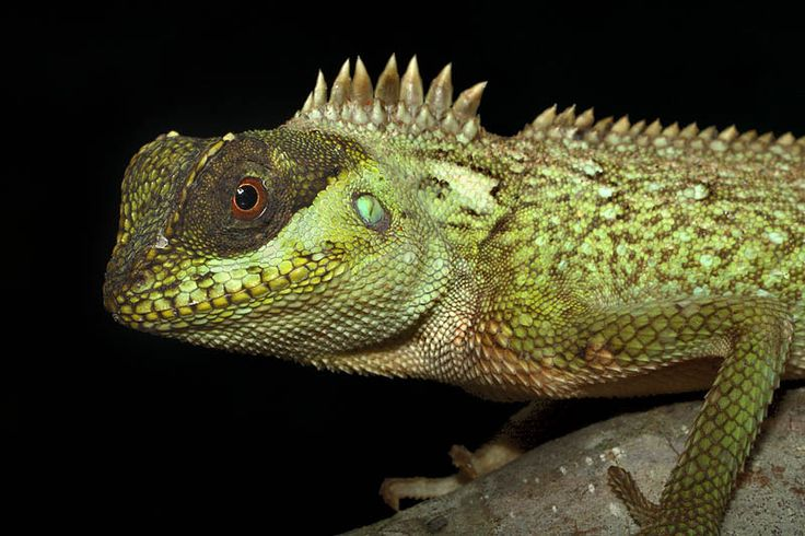 Image result for mountain horned dragons