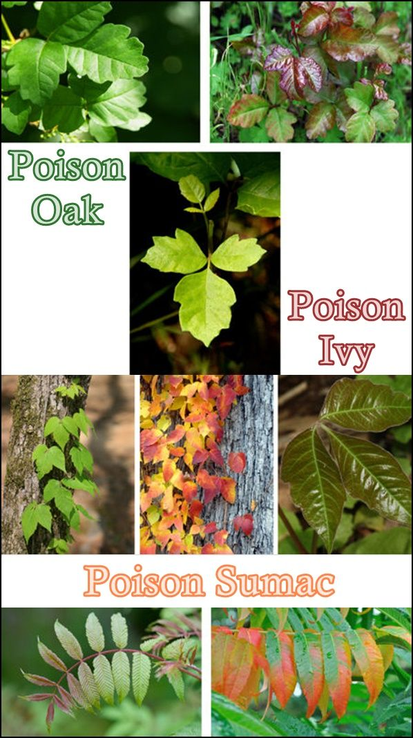 Identify Poison Oak Poison Ivy Poison Sumac Plants Homesteading  - The Homestead Survival .Com