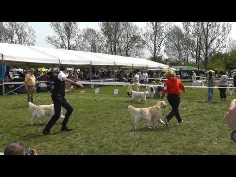 Marathon Dog Show Miskolc 2013.04.27. Golden Retriever : baby kan, kölyök kan, fiatal kan-ok, növendék kanok, nyilt kanok,  cacib kanok.