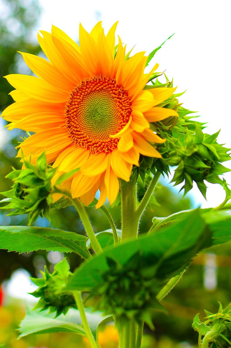 Sunflower in spring season