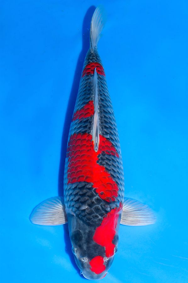 232 Best Images About Koi On Pinterest Japanese Koi