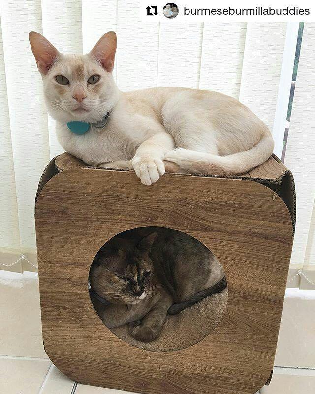 #Repost @burmeseburmillabuddies (@get_repost)  Making the most of the cat furnature #catfurnature #tortiecat #tortie #tortieburmese #tortiesofinstagram #chocolatetortoiseshell #burmese #burmesecatsofinstagram #burmilla #burmillasofinstagram #cat #catsofinstagram #catstagram #cute #pet #petsofinstagram #catbed