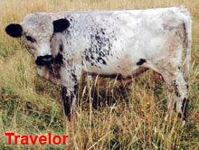 International Miniature Cattle Breeds Registry - White Dexter Miniature Cattle